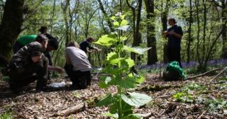 Foraging wild garlic mustard